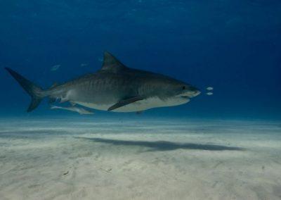 Bahamas – Tiger Beach